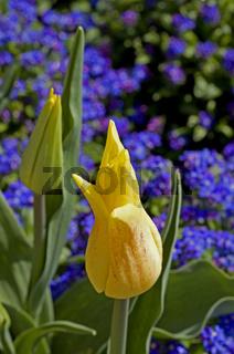 Gelbe Tulpe   Tulipa und Vergissmeinnicht Myosotis sylvatica