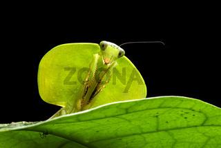Schildmantis (Shield mantis), Chocó Regenwald, Ecuador