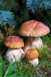 Three mushroom boletus in the forest.
