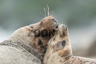 Kegelrobben auf Helgoland