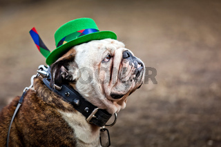 English bulldog wearing St Patrick#39;s Day hat
