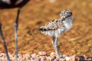 Lapwing Chick at Lake