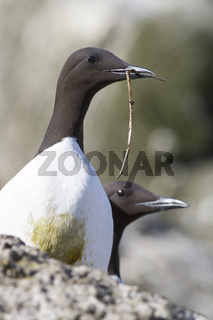 common murre with a branch in its beak spring day near the colony