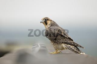 kritischer Blick... Wanderfalke *Falco peregrinus*