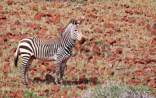 Hartmanns Bergzebra in der Landschaft Palmwags, mountain zebra in the landscape of Namibia, Palmwag concession