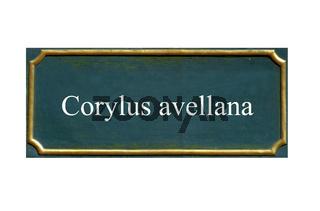schild Corylus avellana, Gemeine Hasel