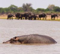 Hippo and elephants