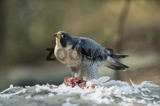 am Rupf... Wanderfalke *Falco peregrinus*