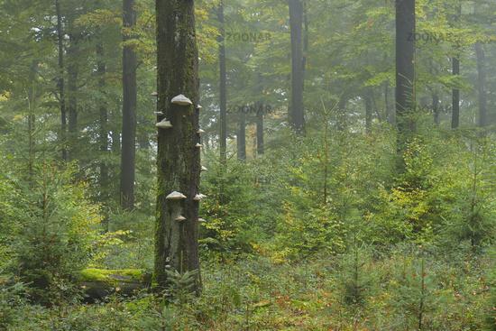 Buchenwald, Spessart, Deutschland