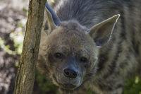 hyaena hyaena,Streifenhyäne