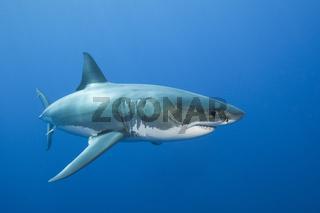 Grosser Weisser Hai, Australien