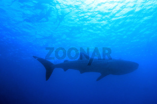 Whale Shark and Snorkelers