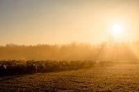 Schafherde Im Sonnenaufgang