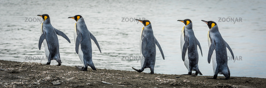 Five king penguins in line on beach