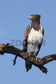 beautiful martial eagle at etosha