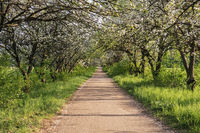 Footpath passage with ground way and apple tree blossom