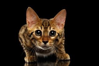 Closeup Crouching Bengal Kitty Isolated on Black