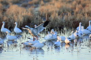 Schneegaense  Bosque del Apache National Wildlife Refuge New Mexico