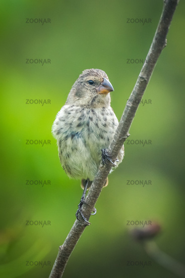 Vegetarian finch on branch looking at camera