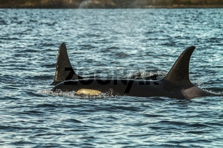 Detail of two orcas