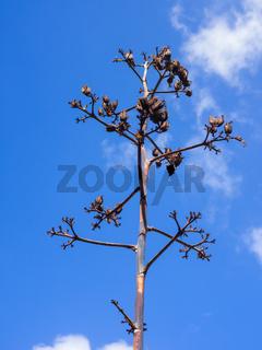 Verwelkte Blüte einer Agave vor blauem Himmel