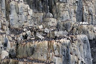 Vogelfelsen Alkefjellet, bewohnt von Dickschnabellummen, Spitzbergen, Norwegen, Europa / Uria lomvia