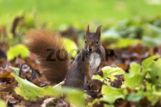 Red Squirrel, Eichhoernchen
