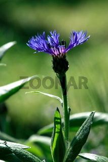 Flockenblume, blaue  Blüte