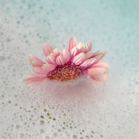 Decoration Flower. Pink Gerbera flower in the water.