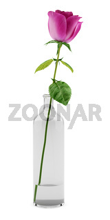 purple rose in glass vase isolated on white background