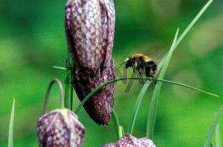 Wildbiene fliegt Schachbrettblume an