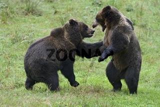 zwei Halbstarke... Europäischer Braunbär *Ursus arctos*