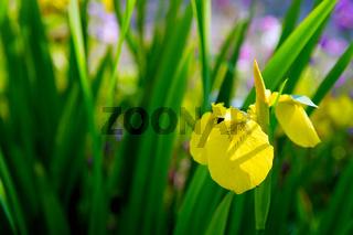 Yellow Iris flower in the garden.