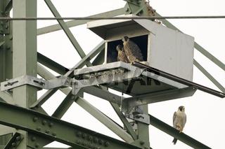 bald flügge... Wanderfalke *Falco peregrinus*