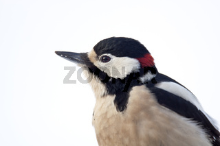 Buntspecht ist auch im Winter seinem Revier treu solange Nahrung zu finden ist - (Foto Portraet vom Maennchen) / Great Spotted Woodpecker is usually resident year-round - (Photo adult male) / Dendrocopus major - (Picoides major)