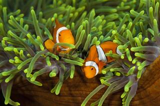 Paar Orange-Ringel-Anemonenfische, Salomonen