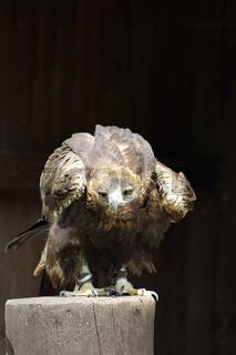 Steinadler (Aquila chrysaetos)