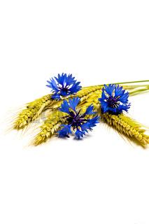 Roggen und Kornblumen freigestellt vor weiß