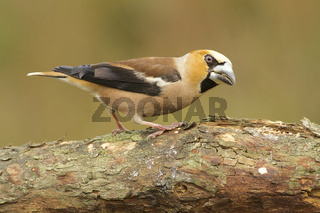 Kernbeisser (Coccothraustes coccothraustes)