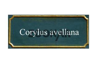 schild corylus avellana, haselnuss
