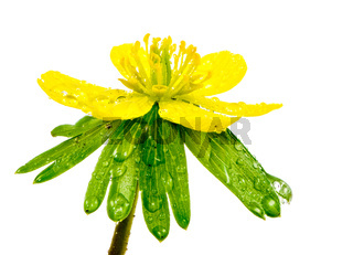 Isolated yellow wet blossom of winter aconite