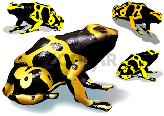 Yellow Banded Dart Poison Frog