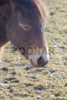 Portrait von einem Exmoor Pony