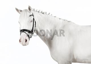 weißes Pony Freigestellt