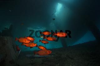 Grossaugenbarsche unter BootsSteg, Mole, Pier, anlegesteg, Indonesien