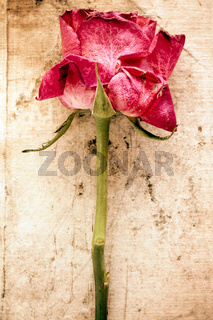 Old rose on dirty canvas background