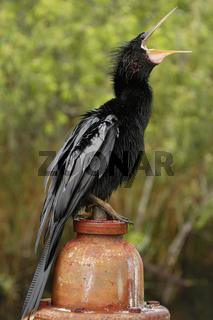 Anhinga (Anhinga anhinga) in Everglades National Park, Florida,