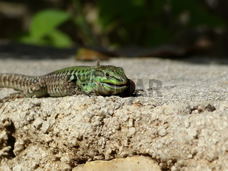 Sand Lizard eats earthworms, Lacerta agilis, Lumbr