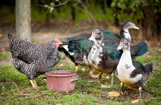 female Muscovy Duck and plymouth rock chicken