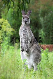 Östliches Graues Riesenkänguru (Macropus giganteus)